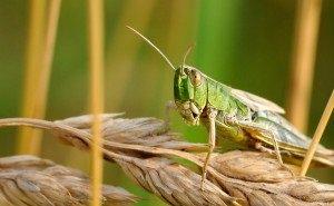 В Калмыкии от саранчи обработана большая половина сельхозземель