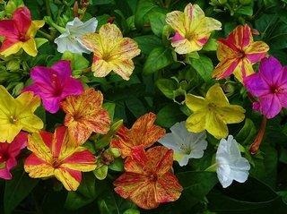 Создание ароматного цветника