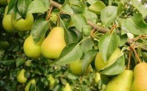 В Адыгее у всех деревьев груш черкесских сортов будут свои паспорта