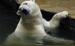 От Ростовского зоопарка требуют отвезти белых медведей на север