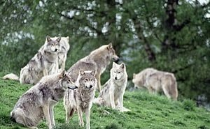 К астраханским сёлам подбираются волки