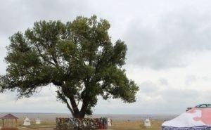 В Калмыкии спасают Одинокий тополь