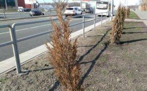 В Астрахани назвали причину гибели недавно посаженных деревьев