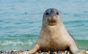 За тюленями в Астрахани будут следить со спутника